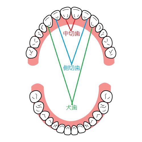 中切歯と側切歯と犬歯の位置の図解イメージ